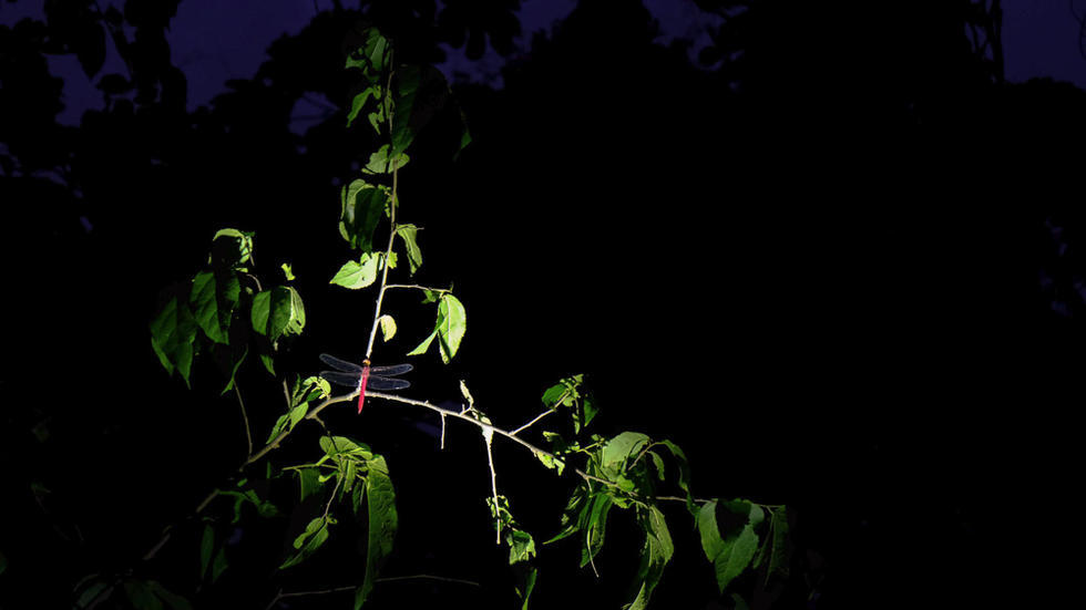 Red dragonfly highlighted by headlamp, sitting on branch at night