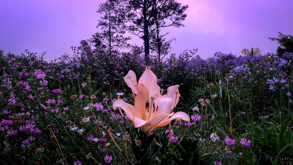 Yellow lily in front of wildflowers and silhouetted tree, purple cast to image