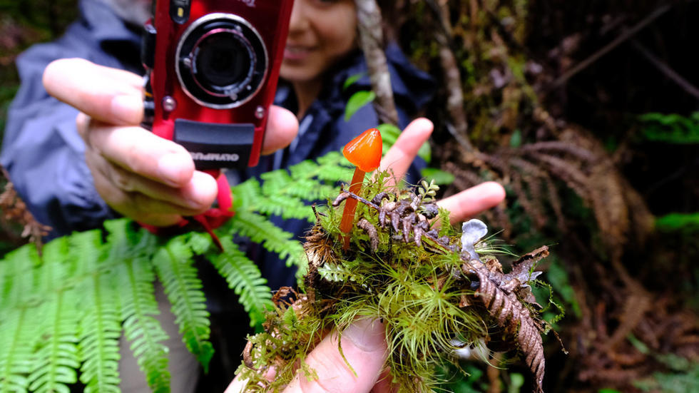 Small, glossy, bright orange mushroom, students photographing it in background