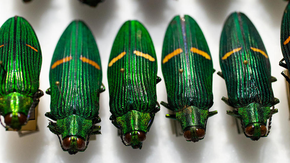 Image of a selection of Rockefeller's beetle collection
