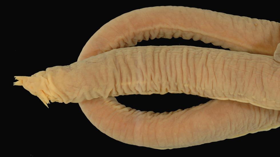 Myxine glutinosa Linnaeus 1758, Atlantic Hagfish, MCZ 100046 Photo: MCZ Ichthyology Staff