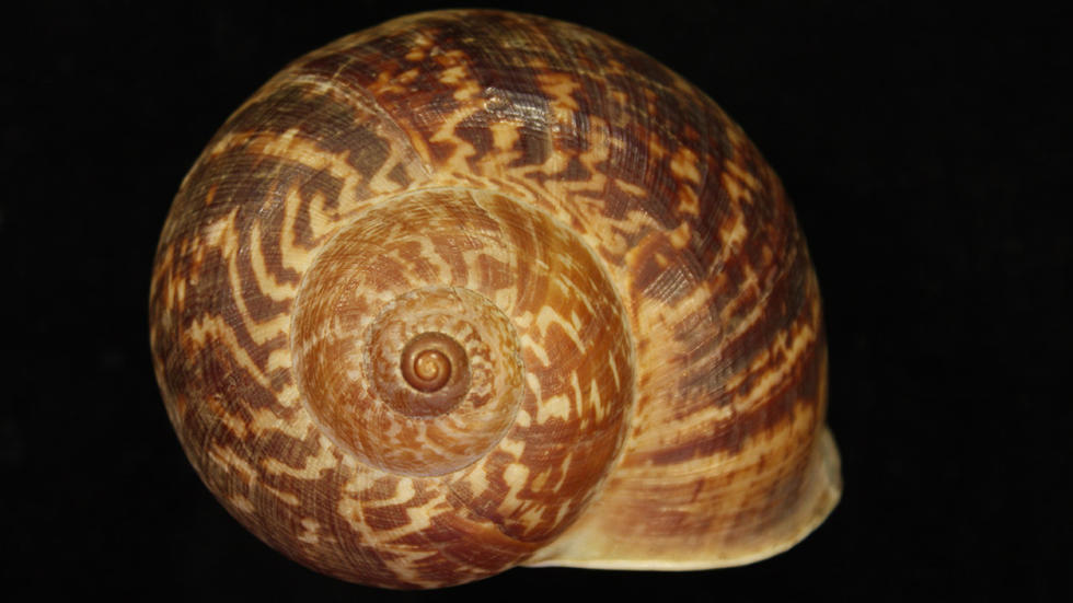 cyclostoma_pernobilis