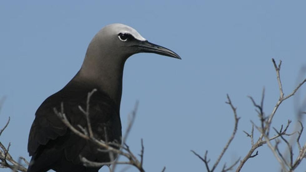 Anous stolidus stolidus, Brown Noddy. Photo: Jeremiah Trimble