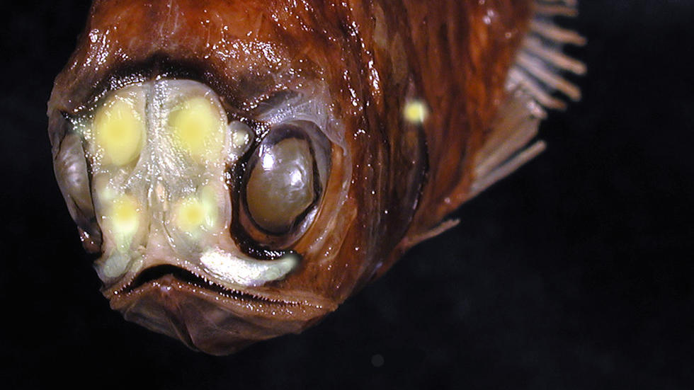 Spothead Headlightfish, MCZ 151058 Photo: MCZ Ichthyology Staff