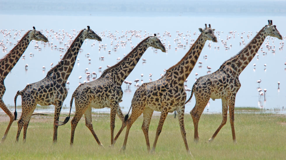 giraffes with flamingos