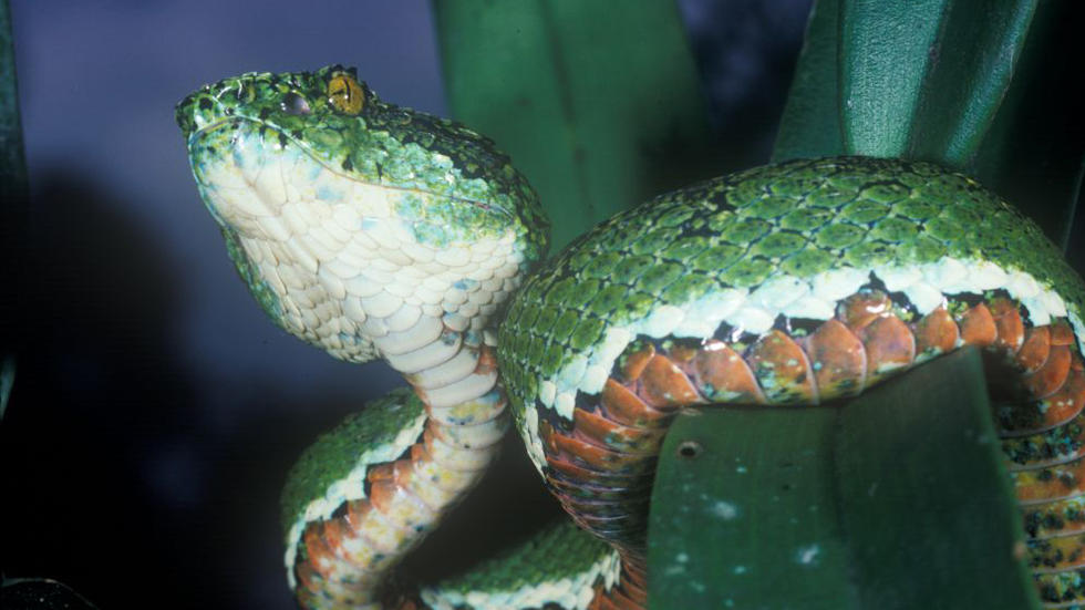 Eyelash palm pit viper, MCZ R-91679 Photo: Kenneth Miyata