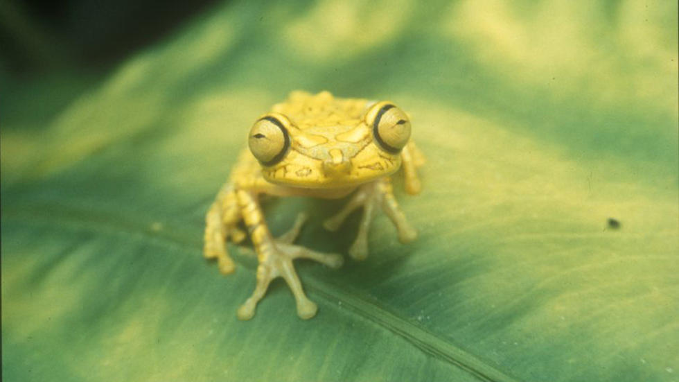 Imbabura treefrog Photo: Kenneth Miyata