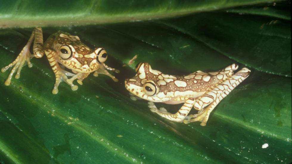 Imbabura treefrogs Photo: Kenneth Miyata