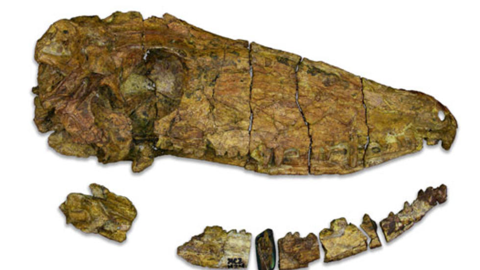 Secodontosaurus obtusidens, first discovered skull of this genus, Permo-Carboniferous Period, Wichita Group, Aarcher Co., Texas, MCZ 1124