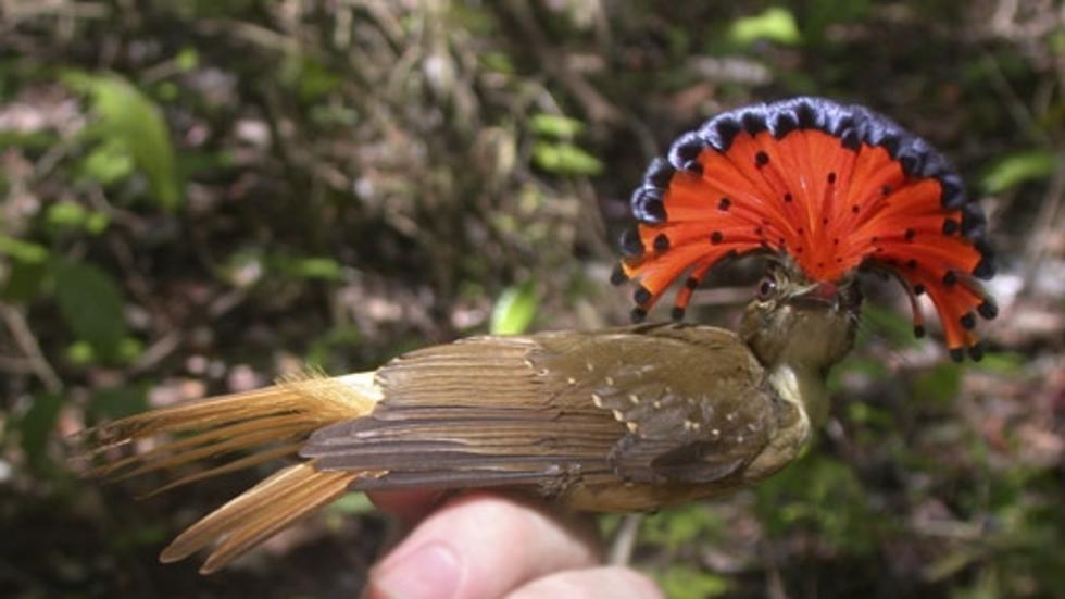 Onychorhynchus coronatus mecicanus, Northern Royal Flycatcher. Photo: Jeremiah Trimble