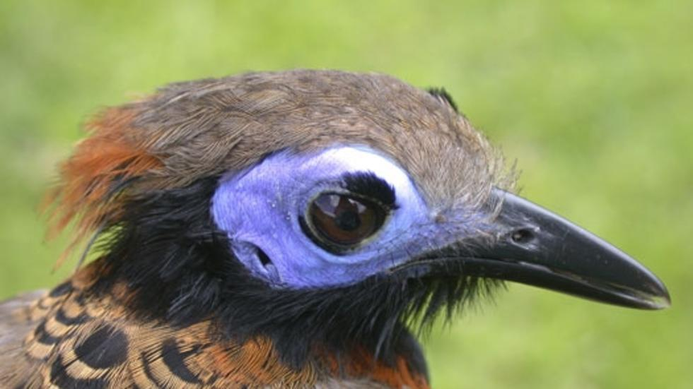 Phaenostictus mcleannani saturatus, Ocellated Antbird. Photo: Jeremiah Trimble