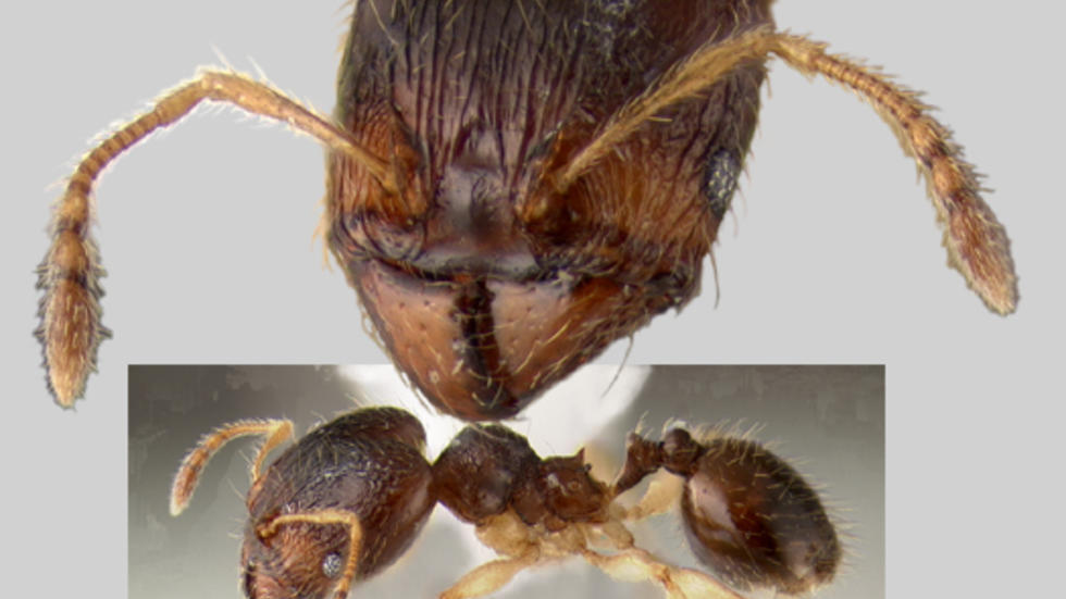 Pheidole perkinsi Wilson 2003, Phil's ant, holotype, MCZ 35193. Photo: P. D. Perkins