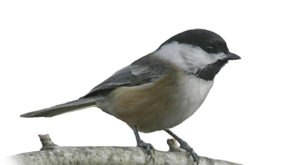 Poecile atricapillus atricapillus, Black-capped Chickadee. Photo: Jeremiah Trimble