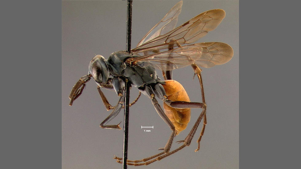 Priocnemis wheeleri Banks, a pompilid wasp from Panama, holotype, MCZ 15346. Photo: Entomology Department