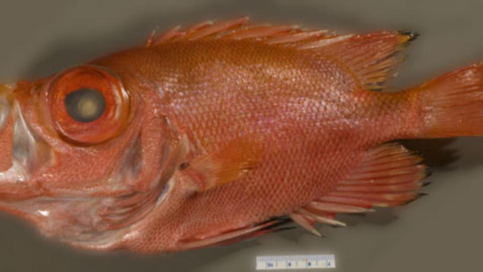 Pristigenys alta (Gill 1862), Short Bigeye, MCZ 167703 Photo: MCZ Ichthyology Staff
