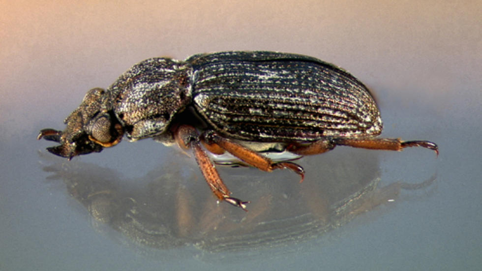 Tympanogaster maureenae Perkins 2006, an Australian waterfall beetle, holotype. Photo: P. D. Perkins