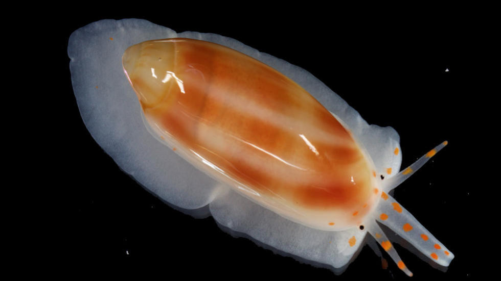 Volvarina sp., Marine gastropod from Belize, MCZ 384331, photo by G. Giribet