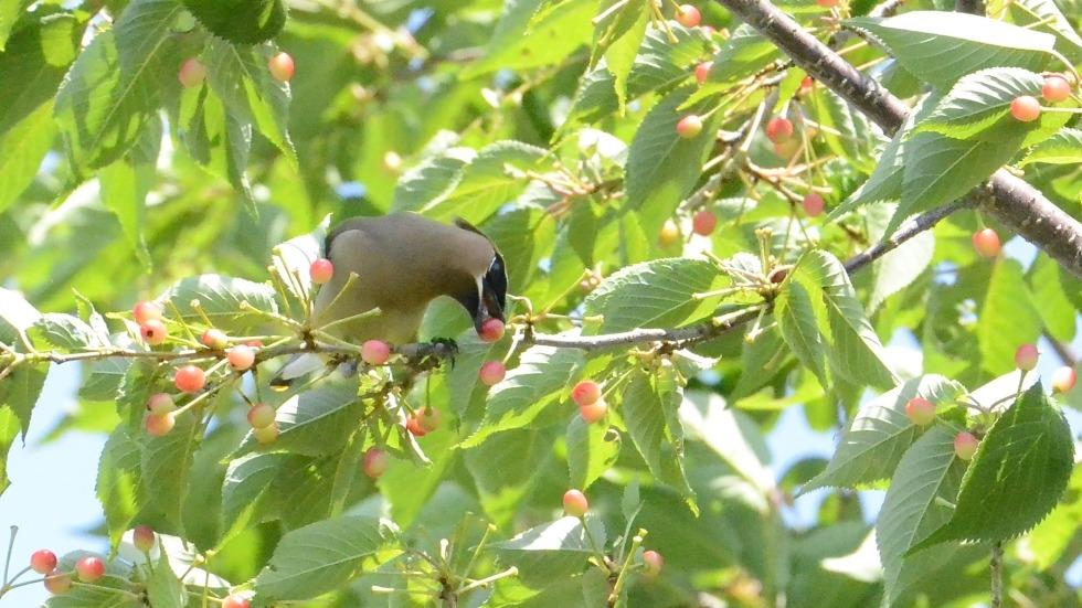 Picture of a bird eating berries on a branch