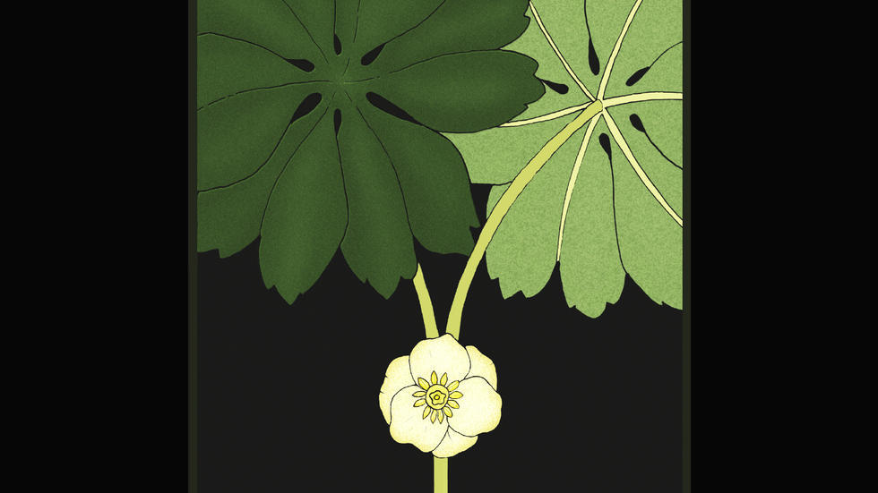 Artwork depicting May Apple flower
