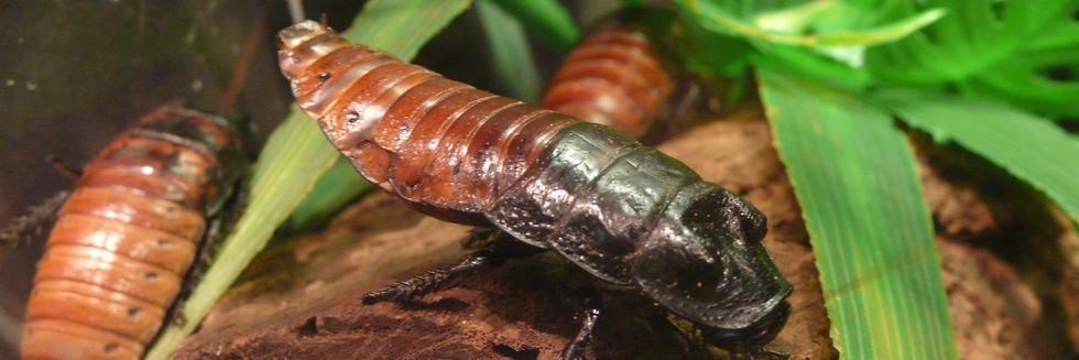 Male Hissing Cockroach