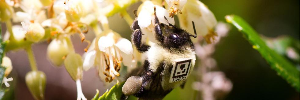 James Crall QR Code Tagged Bees for Science Magazine