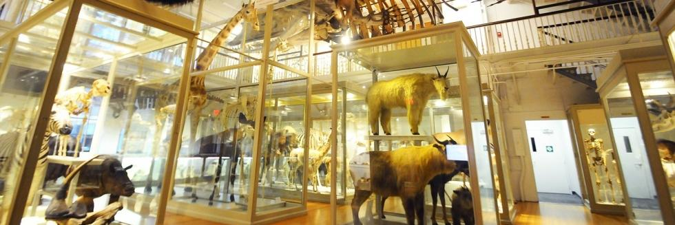 Great Mammal Hall at the Harvard Museum of Natural History