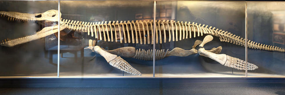 Skeleton of the Kronosaurus in large gallery.
