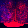 Neural Circuitry of Parental Behavior in Mice. Catherine Dulac Lab/HHMI/Harvard