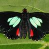 A photo of a green Cattleheart (Parides childrenae) butterfly