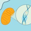 An illustration of a mitochondrion and a double-helix indicating DNA