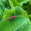 Orange-red milkweed beetle on common milkweed