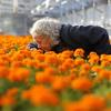 Marigolds in a greenhouse in Franklin Park Yard. Photo by Boston Globe
