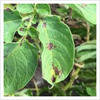 A close look at potato late blight