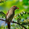 Greater Antillean bullfinch - Courtesy of Harvard Gazette
