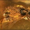 Stingless Bee in Amber