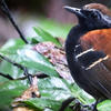 THE NEWLY DISCOVERED ANTBIRD, MYRMODERUS EOWILSONI. PHOTO BY ANDREW SPENCER.