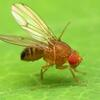 Fruit Fly which contains oskar gene