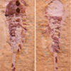 Jianshania furcatus, from the Ercaicun section of Haikou, Cambrian (Stage 3) Chengjiang biota