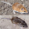 Hoekstra Lab Study in Science Show Mice Quickly Evolved Lighter Coloration