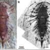 The non-biomineralized artiopodan Sinoburius lunaris from the early Cambrian (Stage 3)Chengjiang. Courtesy of Javier Ortega-Hernández